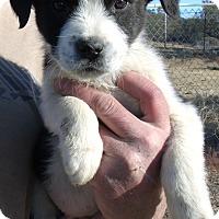 Adopt A Pet :: HOLIDAY PUPS D - Corona, CA