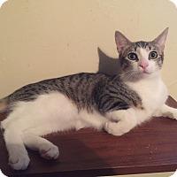 Bengal Cat for adoption in Cerritos, California - Pip Squeak