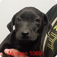 Adopt A Pet :: Morgan - baltimore, MD
