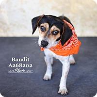 Adopt A Pet :: BANDIT - Conroe, TX
