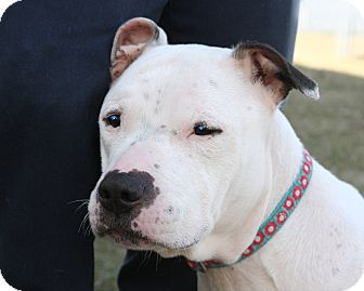 Pit Bull Terrier Mix Dog for adoption in Oakland, New Jersey - Mallomar