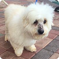 Adopt A Pet :: Comet - Las Vegas, NV