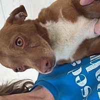 Dachshund/Chihuahua Mix Dog for adoption in Fresno, California - Hansel