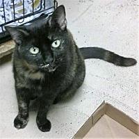 Domestic Shorthair Cat for adoption in Pottsville, Pennsylvania - KitKat