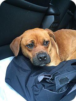 American Staffordshire Terrier/Bull Terrier Mix Dog for adoption in sanford, North Carolina - Jill