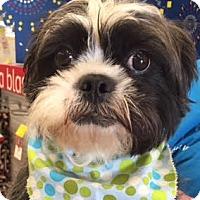 Adopt A Pet :: Peter Mayhew - Euless, TX