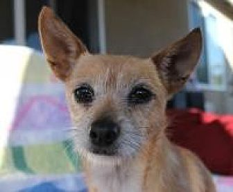 Terrier (Unknown Type, Small) Mix Dog for adoption in Lodi, California - Annie
