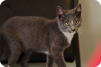 Domestic Shorthair Kitten for adoption in Seneca, South Carolina - Sloan $75