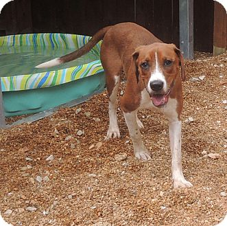Beagle/Hound (Unknown Type) Mix Dog for adoption in House Springs, Missouri - Buddy