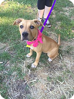 American Pit Bull Terrier/Boxer Mix Puppy for adoption in Richmond, Virginia - Montana