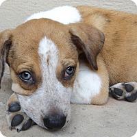Labrador Retriever/Boxer Mix Puppy for adoption in Nashville, Tennessee - Tomato