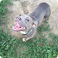 Pit Bull Terrier Mix Dog for adoption in Dayton, Ohio - Inara