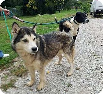 Siberian Husky Mix Dog for adoption in Terre Haute, Indiana - NUSHKA