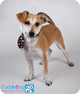 Terrier (Unknown Type, Medium) Mix Dog for adoption in Irving, Texas - Niles