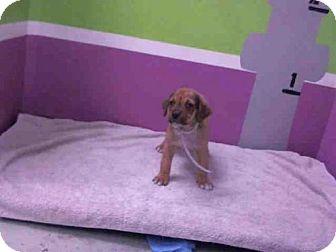 Labrador Retriever Mix Puppy for adoption in Houston, Texas - JAGGER