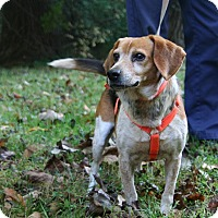 Adopt A Pet :: Badger Hopkins - Waldorf, MD