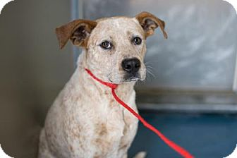 Australian Cattle Dog/American Pit Bull Terrier Mix Dog for adoption in Fresno CA, California - Percy