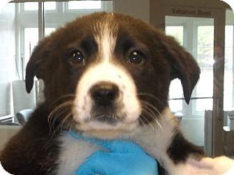 Labrador Retriever Mix Puppy for adoption in Gloucester, Virginia - SPRINKLES