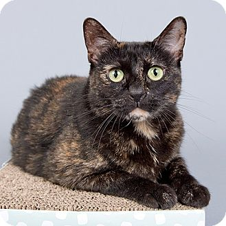 Domestic Shorthair Cat for adoption in Wilmington, Delaware - Cookie