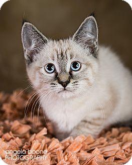 Domestic Shorthair Kitten for adoption in Eagan, Minnesota - Tavi