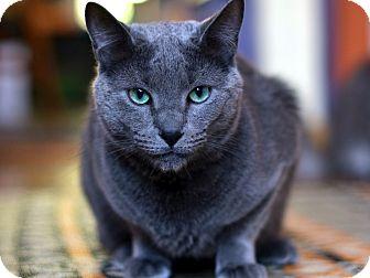Oscar | Adopted Cat | Brooklyn, NY | Russian Blue
