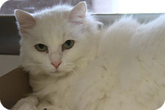 Maine Coon Cat for adoption in Ennis, Texas - Marvelous Madam Mim