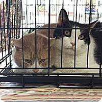 Adopt A Pet :: Nico - Walkersville, MD