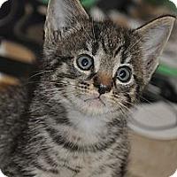 Adopt A Pet :: Mittens -8 weeks old- *VIDEO* - New Smyrna Beach, FL
