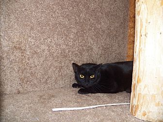 Domestic Shorthair Cat for adoption in Benton, Pennsylvania - Asia