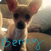 Adopt A Pet :: Benny - La Quinta, CA