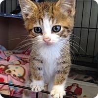 Adopt A Pet :: Tot - Island Park, NY