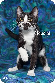 Domestic Shorthair Cat for adoption in Fort Mill, South Carolina - Houdini 5456b