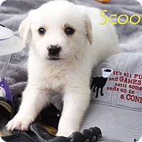 Adopt A Pet :: Scooter - Austin, TX