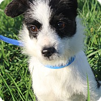 Adopt A Pet :: Snoopy - Waldorf, MD