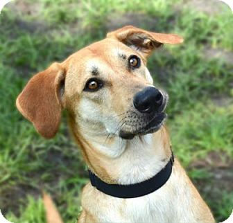 Plott Hound Mix Dog for adoption in Loxahatchee, Florida - Dakota