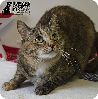 Domestic Shorthair Cat for adoption in Sandusky, Ohio - TOOTSIE SUE