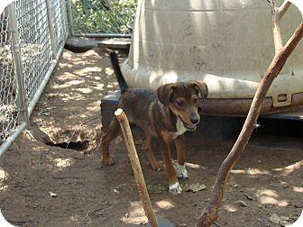 Golden Retriever Mix Puppy for adoption in Blanchard, Oklahoma - Ollie