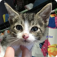 Domestic Shorthair Kitten for adoption in Cliffside Park, New Jersey - AILBE