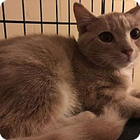 Domestic Mediumhair Kitten for adoption in Aurora, Colorado - Jumping Jack Flash