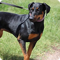 Doberman Pinscher Mix Dog for adoption in McAllen, Texas - Maria