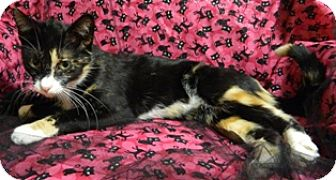 Domestic Shorthair Cat for adoption in Columbus, Nebraska - Savannah