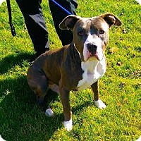 Pit Bull Terrier Mix Dog for adoption in Carson City, Nevada - Drake