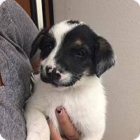 Adopt A Pet :: Moo - Phoenix, AZ