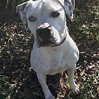 Terrier (Unknown Type, Medium)/Dalmatian Mix Dog for adoption in Kingwood, Texas - Piper2