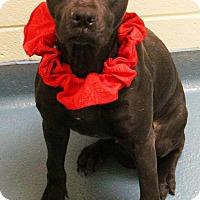 Pit Bull Terrier/Boxer Mix Dog for adoption in Goodlettsville, Tennessee - Gabi