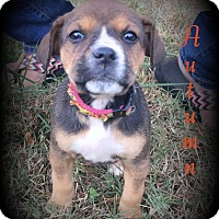 Adopt A Pet :: Autumn - Denver, NC
