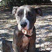 American Staffordshire Terrier Mix Dog for adoption in Jacksonville, Florida - Hope