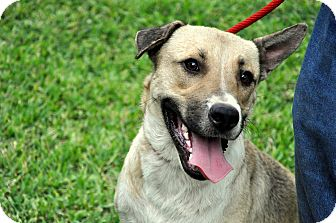 Shepherd (Unknown Type) Mix Dog for adoption in Houston, Texas - Hummer