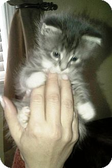Domestic Shorthair Kitten for adoption in Island Park, New York - Teddy