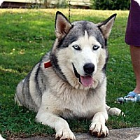 Adopt A Pet :: Wolf - loves to howl - Augusta County, VA